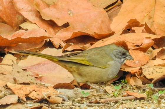 Green-tailed towhee (2)
