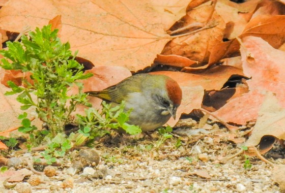 Green-tailed towhee (3)
