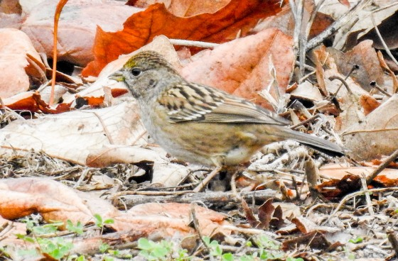 Juvenile golden crowned sparrow