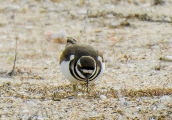 killdeer (2)
