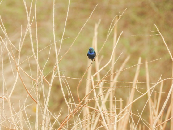 palestine sunbird (4)