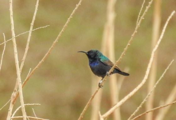 palestine sunbird (5)