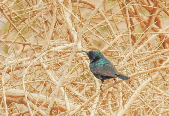 palestine sunbird (6)