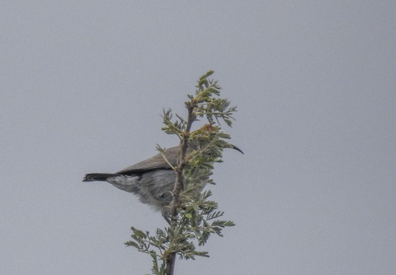 palestine sunbird female