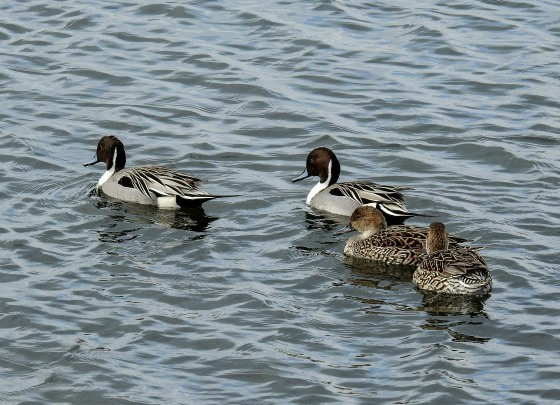 pintailed ducks