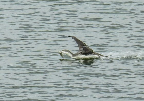 red throated loon with fish