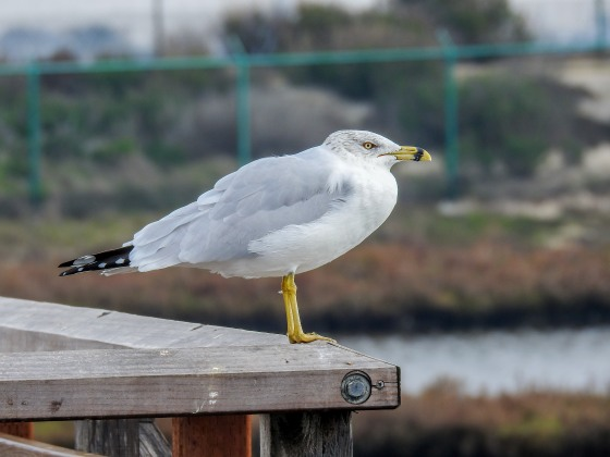 ring billed gull (2)