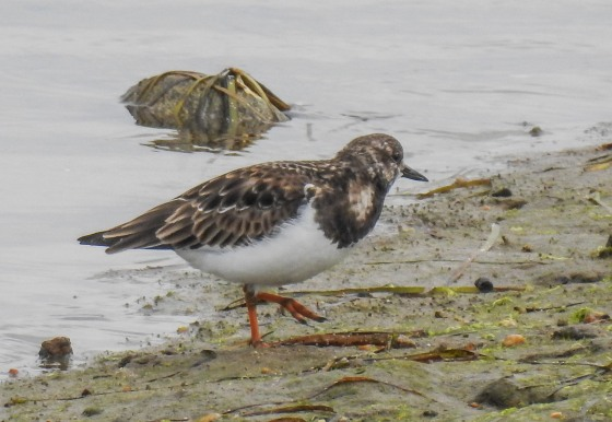 ruddy turnstone (2)