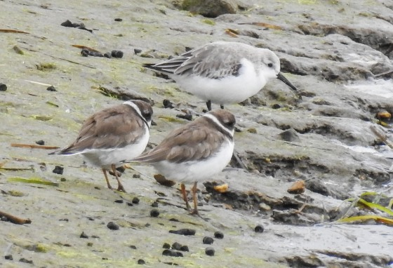 semi palmated plovers and dunlin