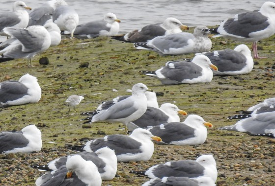 single herring gull among the western gulls