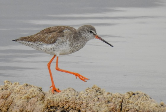 spotted redshank (5)