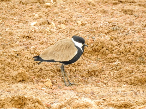 spur winged Lapwing (2)