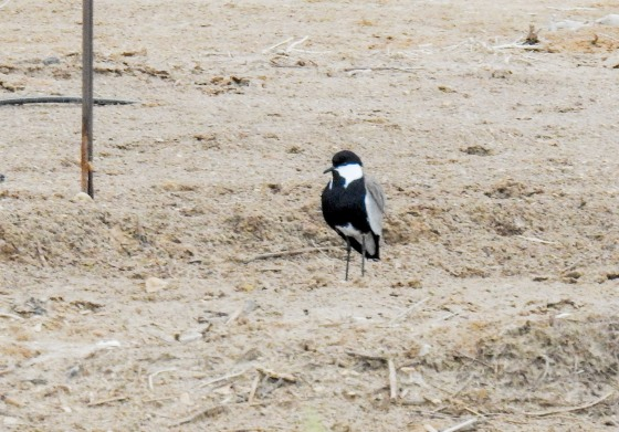 spur winged lapwing (3)