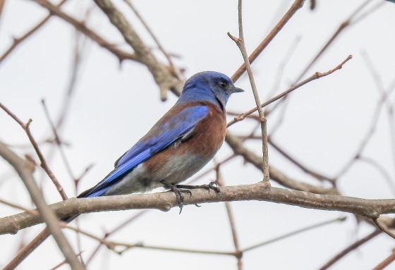 western bluebird (2)