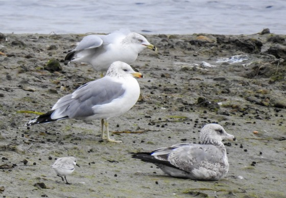 Western gulls with immature
