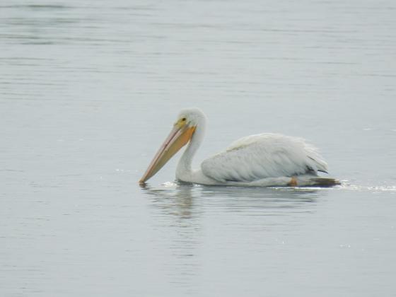white pelican (2)