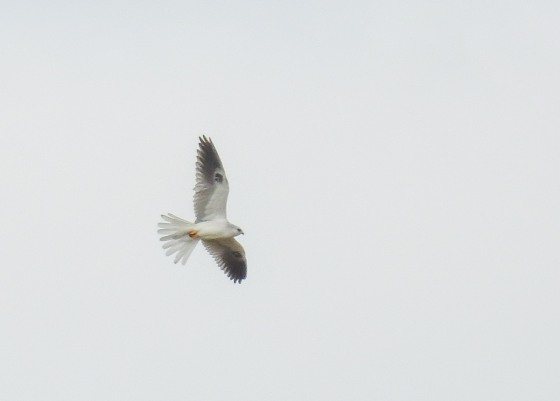 white tailed kite (2)
